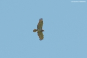 05.06 : another male of neighbour Short-toed Eagle pair
