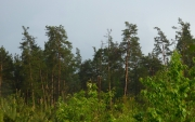 Old sites of pine forests are utilized by Short-toed Eagles for nesting