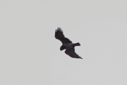 02.04 (5) B: typical for this male Osprey-like bend of wings allows to identify him every year