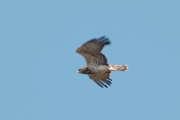 26.05 (1) D: the male Short-toed Eagle of another pair