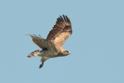 17.07 (4) K: typical coloration of an adult Short-toed Eagle - the same tone of the head, the back and the lesser wing coverts