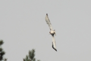 24.07 (2) G: his neighbour, a Common Buzzard, makes him do some special maneuvers to avoid its attacks