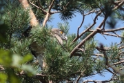 24.07 (5) G: the male has arrived at the nesting pine with a lizard