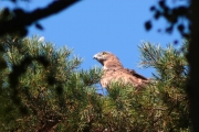 30.07 (4) N: the female Short-toed Eagle has arrived