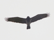 25.03 (1) A: the first Short-toed Eagle recorded this year