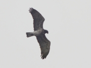 25.03 (2) A: it looks like a male and hunts at hunting areas of the B11 male (bird B in the 2011 gallery); also his 5th left and 7th right primaries look old, like B11's ones should be... however, it is not him