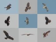 29.04 (1) B: this Short-toed Eagle seems to be an adult female; although it has not been seen at this hunting area in previous years