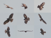 06.05 (1) F11: it is very probable that this female occupies the same nesting site during last 7 years