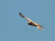17.06 (3) B11 : the same male in circling flight