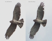 09.06 (1) K11 : the same Short-toed Eagle male photographed almost 3 years later; the dark marks tracery has become more distinct; 7 of the primaries are growing