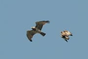 30.06 (2) A : the Short-toed Eagle female has left the nest to take exercise;