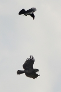 01.09 (2) K11 : but Ravens (Corvus corax) attack the male Short-toed Eagle and prevent him from feeding the juvenile