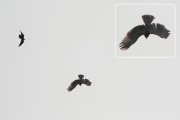 01.09 (6) D : I have never observed such reaction to attacking Ravens from adult Short-toed Eagles, but it is typical for their juveniles