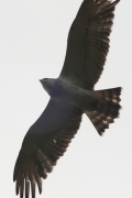 22.09 (2) F : the Short-toed Eagle in the typical second calendar year plumage is starting its migrating flight after spending the night inside an old pine forest; fresh tail feathers have white edges, others don't