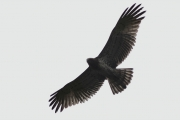 22.09 (8) D : the silhouette of a juvenile Short-toed Eagle - the inside primaries are noticeably shorter than adults' ones