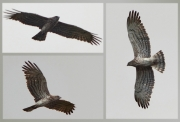 22.09 (9) K11 : its father has longer inside primaries and the typical adult colouration with greyish fresh flight feathers and brownish old ones; this is the last photos of a Short-toed Eagle this year