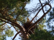 12.07 N11 : the new nest of a pair in Sumy Polissya is built on the fancifully crossed pine branches