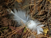 16.08 : shed feathers can still be found under perches in the neighbourhood of the nesting tree