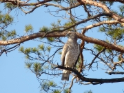 03.04 K11 : this male Short-toed Eagle is roosting at a distance of 250 meters from the future nesting tree; the rather long distance indicates that a nesting tree has not yet been chosen