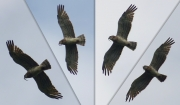 10.07 B11 : his colouration is quite pale, that makes him look like a younger bird from below; nevertheless, the upper part is unicoloured enough for an adult Short-toed Eagle, and the colouration has not changed in the last 10 years