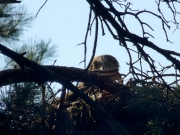 31.07 F16 : the offspring of A11 and B11 is looking out the nest situated rather low, just 14 meters above the ground; the pair has built 2 similarly situated nests this year at a distance of about 200 m from each other