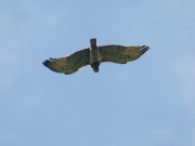 31.07 A11 : the female Short-toed Eagle is hovering with prey over the breeding site before gliding down to the nest