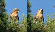 06.08 E16 : in general, the appearance of the juvenile Short-toed Eagles has changed very much in 3 weeks