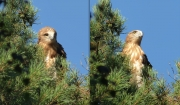 06.08 E16 : the colouration is contrasty against the background of the blue sky, however, it is really disguising among branches of Scots pines (Pinus sylvestris), that is important for the juvenile Short-toed Eagle right after leaving the nest