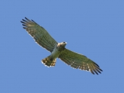 28.06 B11 : old male Short-toed Eagle in flight at his breeding site