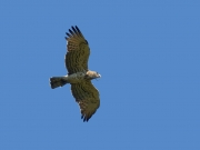 30.07 A16: that Short-toed Eagle male is an active hunter as well