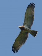 03.09 C17: this young Short-toed Eagle fast learns to fly as well