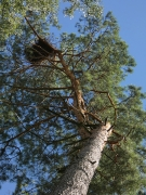 15.07.18 : the quite big nest of Short-toed Eagles discovered this year at the top of a curved pine among marsh