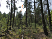 08.09.19 : the nesting site of that Short-toed Eagle and the nest found within the Zone 15 km west of the Chornobyl Nuclear Power Plant, at a rather highly contaminated young pine forest