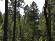 08.09.19 : the eyrie was built on a quite low pine (Pinus sylvestris) at an altitude of 14 m