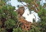 Рис. 1. Молодой змееяд Circaetus gallicus на гнезде. Баянаульский национальный парк. 7 августа 2013. Фото автора
