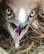 18.07 : a portrait of Short-toed Eagle chick