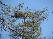 09.04.08 : The nest is situated typically – on a top of the tree and open from above. Photo by Marina Sidenko