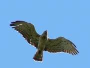 29.07.08 : Adult Short-toed Eagle disturbed near the nest. Photo by Dmitriy Nazarenko