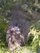 Short-toed Eagle (CIRCAETUS GALLICUS) / by SIDOROV S. 2006