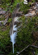 06.07.14 : the old tail feather found under a perch, a high pine, at a distance of about 200 m from the nest, in direct sight of it / by A. Skeeter