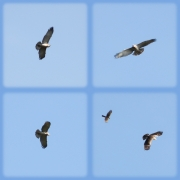 09.09 : the young eagle continued to loudly cry until it has attracted attention of a Sparrow Hawk (Accipiter nisus) / by A. Simon