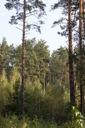 09.09 : high pines and the witch's broom with this year's nest / by V. Moroz