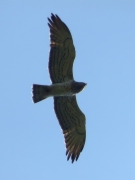 09.09 : the male Short-toed Eagle flies from the breeding site towards hunting grounds / by K. Pismennyi