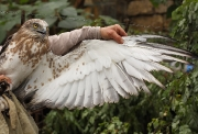 SUBADULT+MALE : 19.X.2009 : Bird - 5 : Author - K.PISMENNYI : Place - Odessa Zoo : Country - Ukraine : 16 months old