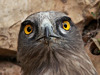 Short-toed Eagle. 1000pictures.com