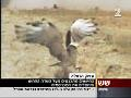 Amir Balaban on TV about the aggregation of Short-toed Eagles