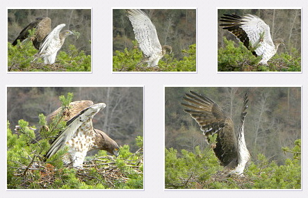 Short-toed Eagle. Bernard Joubert. 2010