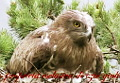 Ezio Giuliano: Meet the Hawk (Short-toed Eagle) - Il Biancone (Circaetus gallicus)