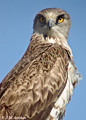 Short-toed Eagle. Fotodigiscoping search results for Circaetus gallicus