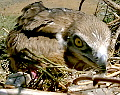 Climbing to Short-toed Eagle and Long-legged Buzzard nests. Video by Guilad Friedemann (available in HD quality)